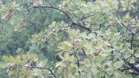 Hösten landskap höstbakgrundscloseupen colors orange red för murgrönaleaf Fallen oakleaf , begränsade abstrakta naturliga bakgrun stock video