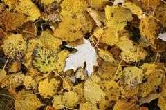 Hösten mattar av guling lämnar Royaltyfria Bilder