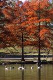 Hösten på parkerar med goosessimning royaltyfri bild