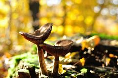 Hösten plocka svamp i skog arkivbild