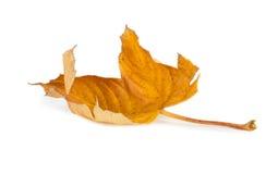 hösten torkade isolerade leaves Arkivfoton