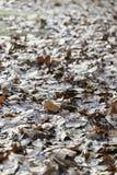 hösten torkade leaves Arkivbilder