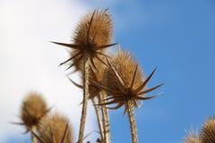 Hösten torkade växter royaltyfria foton