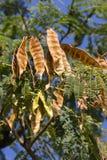 Höstfärg i italienska kullar Albiziajulibrissinfrukter & x28; Persisk siden- tree& x29; Royaltyfria Bilder