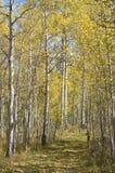 höstfärg västra colorado Fotografering för Bildbyråer