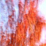 Höstfärger av den Manchurian körsbäret Arkivfoton
