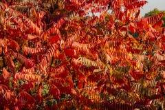 Höstfärger av den RhustyphinaStaghorn sumacen, Anacardiaceae Röda, orange, gula och gröna sidor av sumac arkivbild