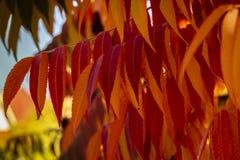 Höstfärger av den RhustyphinaStaghorn sumacen, Anacardiaceae Röda, orange, gula och gröna sidor av sumac arkivfoton