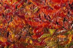 Höstfärger av den RhustyphinaStaghorn sumacen, Anacardiaceae Röda, orange, gula och gröna sidor av sumac fotografering för bildbyråer