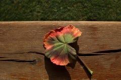 Höstfärger av ett blad Arkivbilder