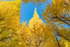 Höstfärger av Ginkgoträdet Royaltyfria Foton