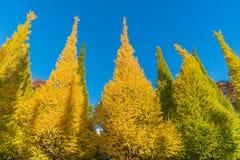 Höstfärger av Ginkgoträdet Arkivfoto