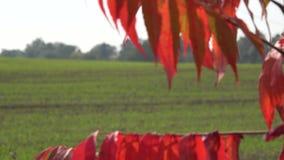 Höstfärgsidor och lantgårdfältet med vinter kantjusterar Fokusändring 4K stock video
