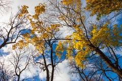 höstfallligganden låter vara trees Royaltyfri Fotografi