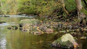 Höstflodflöden längs stenarna av rotar av träd stock video