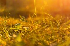 Höstgräs i solnedgångsolljus Suddig bakgrund för grön gul apelsinabstrakt begreppnatur Makro bokeh royaltyfria foton