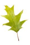 Höstgräsplan lämnar eken isolerad Royaltyfri Fotografi