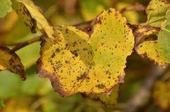höstgruppen colours tysk yellow för rhine flodtree Fotografering för Bildbyråer