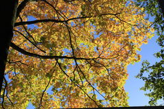 höstguldleafs några trees Arkivbild