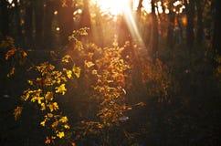 Höstguling lämnar upplyst vid solen på solnedgången i Oktober Arkivbilder