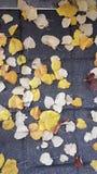Höstguling lämnar vägpoppeln Royaltyfria Bilder