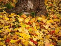 Höstgulingsidor ligger på jordningen nära trädet royaltyfria bilder