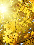 Höstgulingsidor och sol Royaltyfri Fotografi