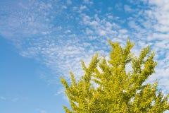 Hösthimmel- och ginkgoträd royaltyfria bilder