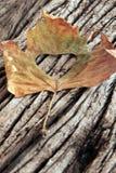 Hösthjärtablad som uppåt pekar Arkivbild