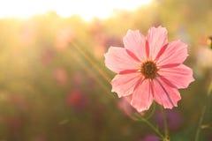höstkosmos japan fotograferade pink Arkivbild