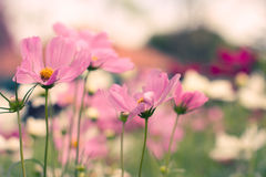 höstkosmos japan fotograferade pink Arkivfoto