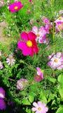 höstkosmos japan fotograferade pink Royaltyfri Foto