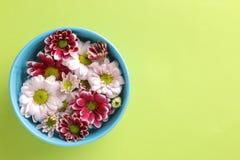 Höstkrysantemumet blommar i en blå bunke på en moderiktig grön bakgrund med utrymme för en inskrift arkivfoton