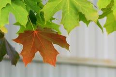 Höstlönnlöv på ett träd royaltyfria bilder