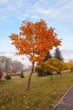 Höstlönnträd. Royaltyfria Foton