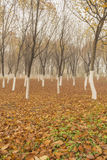 Höstlönnträd Arkivbild