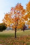 Höstlönnträd i en parkera. Royaltyfria Bilder