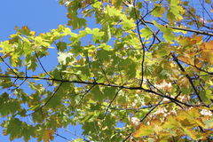 Höstlönnträd mot den klara himlen Arkivfoton