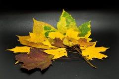 Höstlövverkisolat på svart bakgrund våta leaves royaltyfria bilder