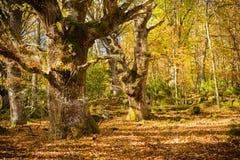 Höstlandskap av en gul skog i Aguilar de Campoo fotografering för bildbyråer