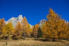 Höstlandskap i Dolomites, Italien Berg, granträd och framför allt lärker som ändrar färg som antar den typiska gula auten royaltyfria foton
