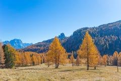 Höstlandskap i Dolomites, Italien, berg, granträd och framför allt lärker som ändrar färg som antar den typiska gula auten arkivfoto