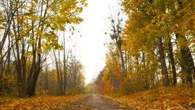 Höstlandskap i skogen som kameran flyttar till rätten den höstliga dagen låter vara melankolisk yellow långsam skytte Guld- höst stock video