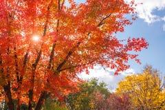 Höstlandskap med lönnträd Royaltyfri Fotografi