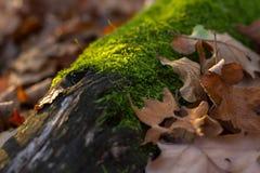 Höstlandskap med mossa på ett trä och sidor Fotografering för Bildbyråer
