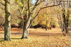 Höstlandskap med träd och gula sidor royaltyfri foto