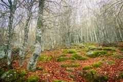 Höstlandskapet med bokträdet och gräsplanmossa och brunt lämnar Ujaperos arkivfoto