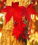 höstleaves Royaltyfri Fotografi