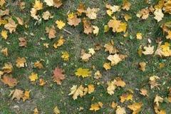 Höstlig bakgrund - gula lönnlöv i gräset Arkivbild