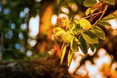 Höstlig frukt på ett träd Fotografering för Bildbyråer